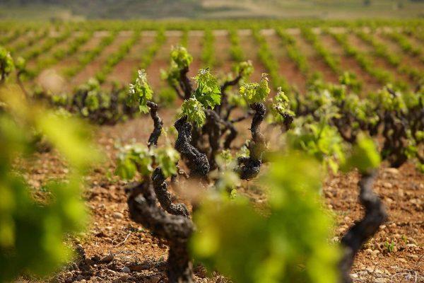 Primavera viñedo de La Rioja