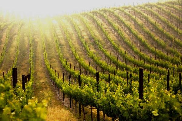 Photos of vineyards on the Camino Frances to Santiago